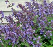Nepeta x faassenii 'Kit Cat'