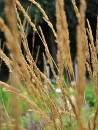 Calamagrostis-karl-foerster1
