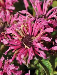 Monarda 'Cranberry Lace'