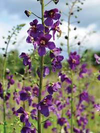 Verbascum-violetta1