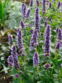 Agastache-blue-fortune8