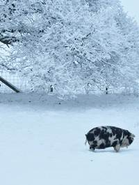 Cards - Albert the pig in snow