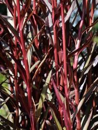 Lobelia-queen-victoria-leaves
