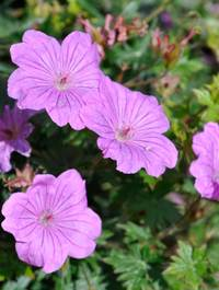 Geranium-tiny-monster3