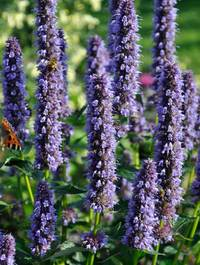 Agastache-blue-fortune10
