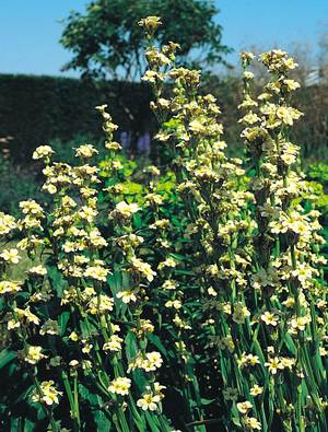Sisyrinchium striatum 'Aunt May', syn. S.s. 'Variegatum ...