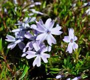Phlox subulata 'Emerald Cushion Blue'