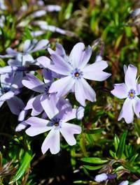 Phlox-emerald-cushion-blue