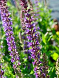 Salvia-ostfriesland1