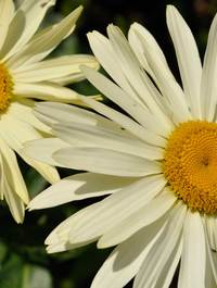 Leucanthemum-broadway-lights7