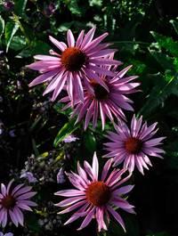 Echinacea-magnus9