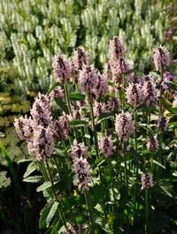 Stachys-grandiflora-superba9