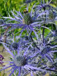 Eryngium-pen-blue