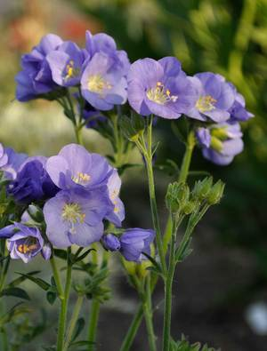 Polemonium 'Northern Lights'