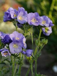 Polemonium-northern-lights1