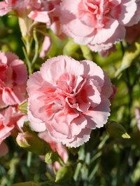 Dianthus-doris3