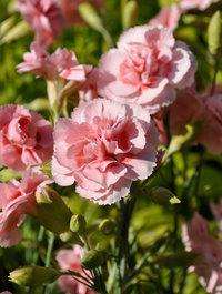 Dianthus-doris4