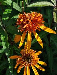 Echinacea-marmalade9