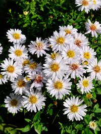 Aster-snow-cushion