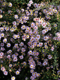 Aster-eriocoides-pink-cloud2