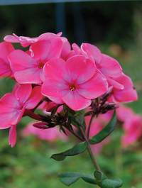 Phlox-windsor