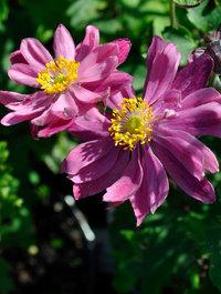 Anemone hupehensis var. japonica 'Bressingham Glow