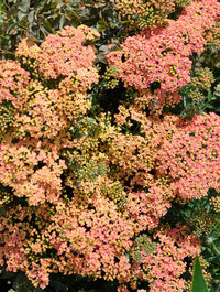Achillea-peachy-seduction