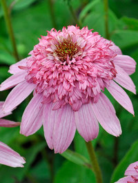 Echinacea-secret-romance2