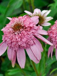 Echinacea-secret-romance1