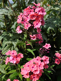Phlox-sweet-summer-dream2