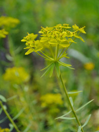 Euphorbia-seguinariana