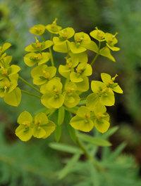 Euphorbia-seguinariana1