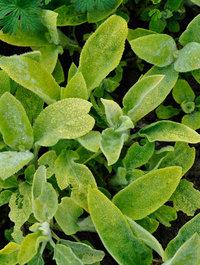 Stachys-primrose-heron