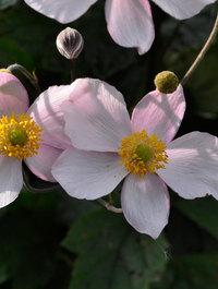 Anemone-septemeber-charm