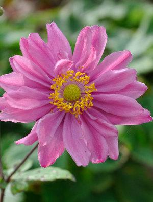 Anemone x hybrida 'Pamina'
