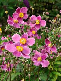 Anemone-hadspens-abundance3