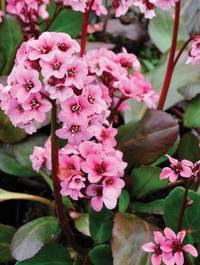 Bergenia-pink-dragonfly2