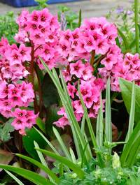 Bergenia-pink-dragonfly7