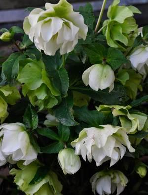Helleborus x hybridus Double White