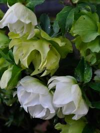 Helleborus-double-white