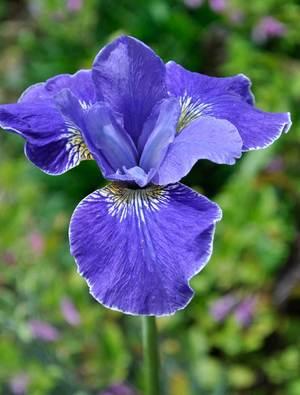 Iris 'Silver Edge'