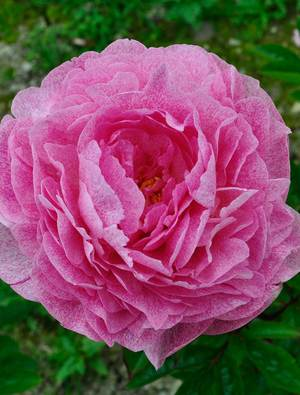 Peony 'The Fawn'