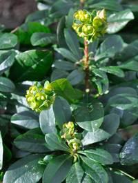 Euphorbia-amy-robbiae2