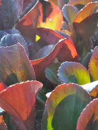 Bergenia-bressingham-ruby-leaves