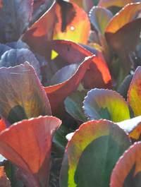Bergenia-bressingham-ruby-leaves
