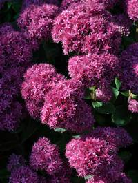Sedum-munstead-red4