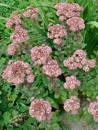 Sedum-stewed-rhubarb-mountain8