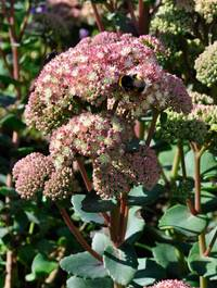 Sedum-stewed-rhubarb-mountain1