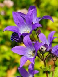 Campanula-lactiflora-prichards-var
