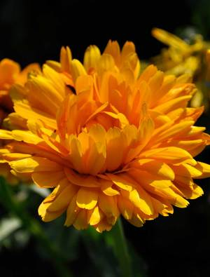 Calendula 'Orange King'